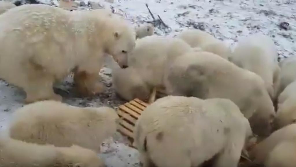 Manada de osos hambrientos y agresivos invade poblado de Rusia