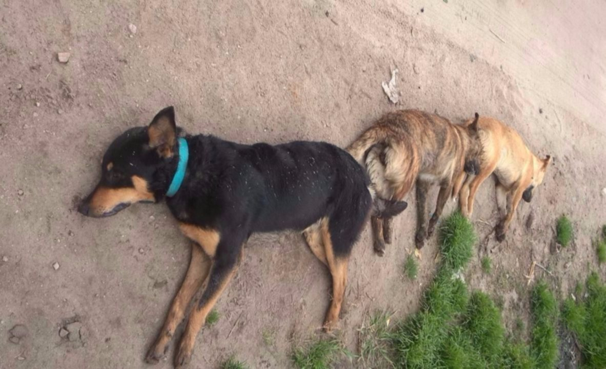 ¿Qué pasa con los perros que aparecen muertos en las calles de Xela?