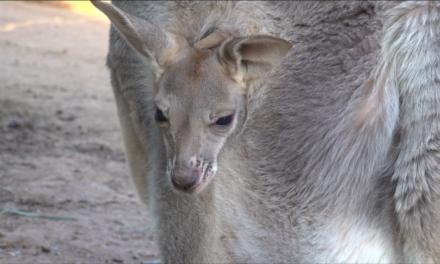 Innovadora iniciativa para salvar canguros