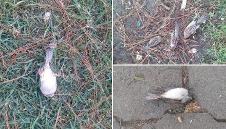 Muerte de pájaros en la zona 1 de Xela podría ser por bajas temperaturas