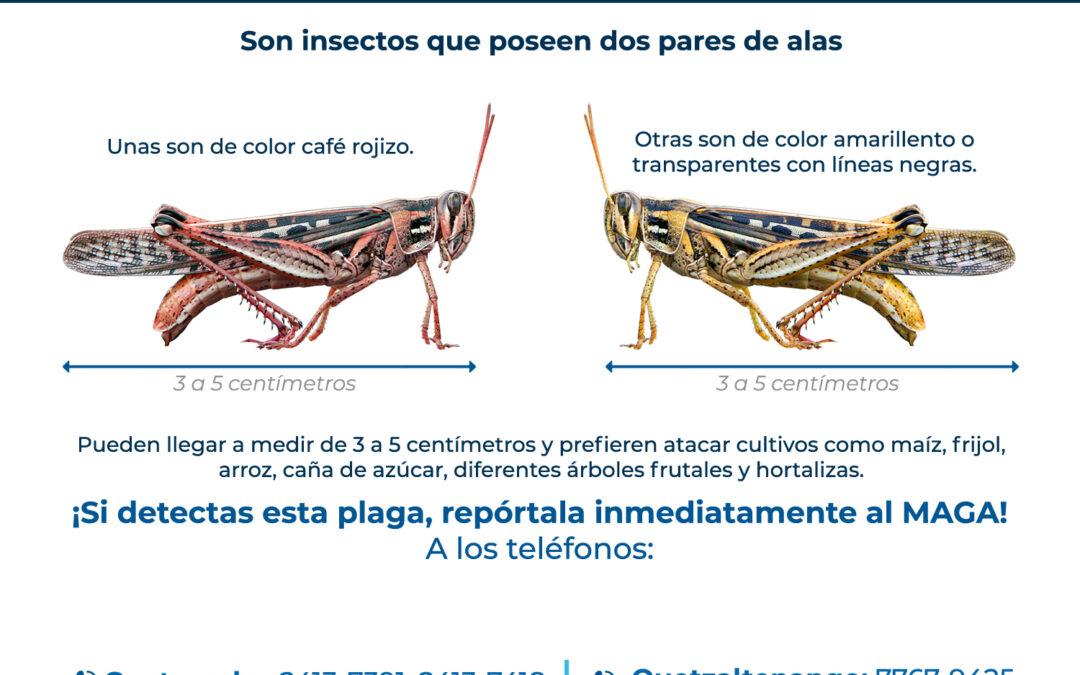 MAGA pide a los agricultores alertar sobre plaga de insectos