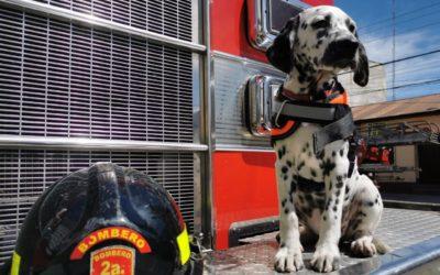 Los dálmatas que robaron miradas en actos por el 60 aniversario de bomberos de Xela