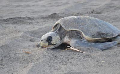 Presentan ante un juez a presunto responsable de matar a tortuga