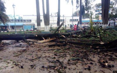 Árbol apolillado cae cerca de la fuente del parque Benito Juárez de Xela